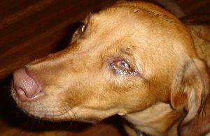 Признаки пироплазмоза у собаки