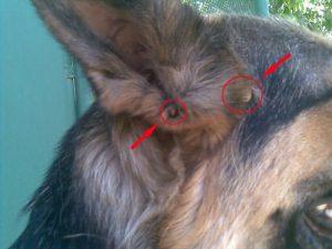 Поиск клещей у собак